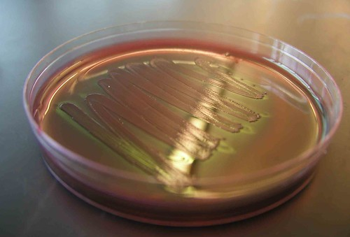 E. coli on a Petri Plate