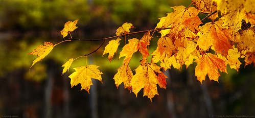 autumn fallleaves fall nature leaves yellow rural landscape bokeh maine newengland autumnleaves ornage fallseason musictomyeyeslevel1