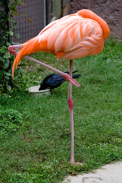 Ca066 Sleeping Flamingo Flickr Photo Sharing