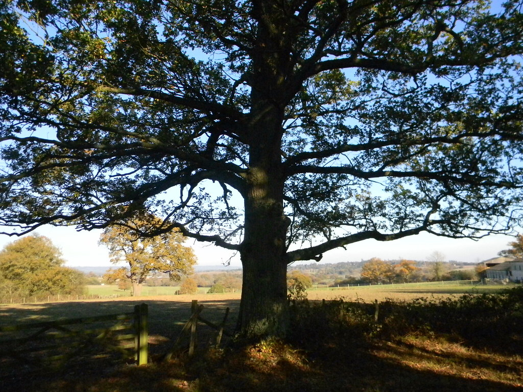 Spreading oak Cowden (short) Circular