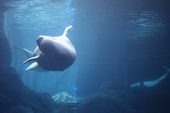 animal, marine mammal, ocean, marine biology, whales, dolphins, and porpoises, underwater, beluga whale,