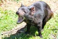 wombat(0.0), animal(1.0), tasmanian devil(1.0), mammal(1.0), fauna(1.0), viverridae(1.0), mink(1.0), wildlife(1.0),
