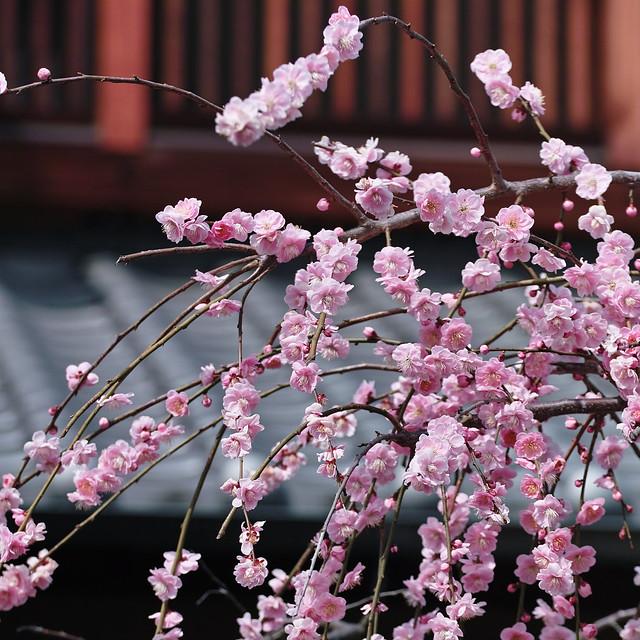 Plum Blossom *