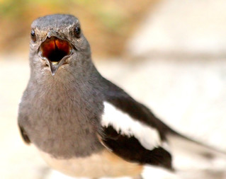 Close-Up,Magpie Robin (copychus saularis)