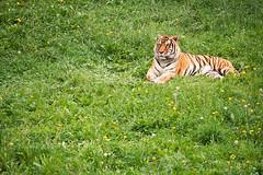 Tigre // Tiger