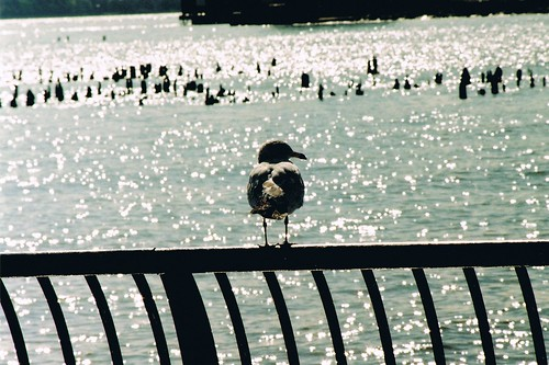the sea gull.