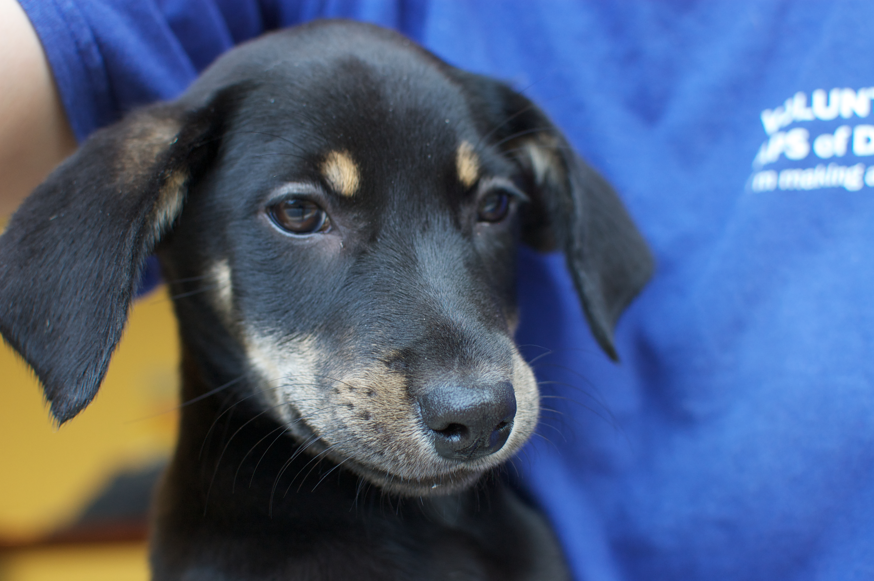 Bloodhound Mix Puppies Gallery for lab hound mix