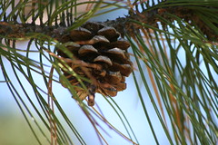 date palm(0.0), arecales(0.0), coconut(0.0), produce(0.0), fauna(0.0), twig(0.0), larch(1.0), flower(1.0), branch(1.0), pine(1.0), leaf(1.0), tree(1.0), nature(1.0), macro photography(1.0), flora(1.0), close-up(1.0), conifer cone(1.0), fir(1.0), spruce(1.0),