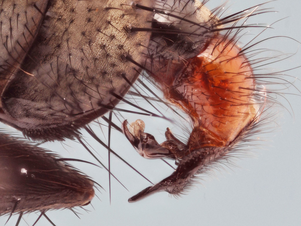 Sarcophaga (Heteronychia) haemorrhoa (male, genitalia, x4)