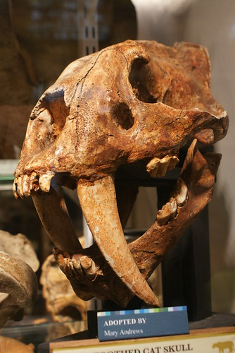 Sabretooth Cat skull