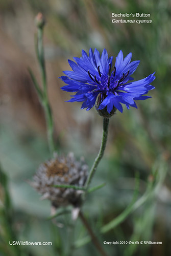 Bachelor's Button, Bluebottle, Cornflower - Centaurea cyanus