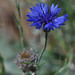 Bachelor's Button - Centaurea cyanus