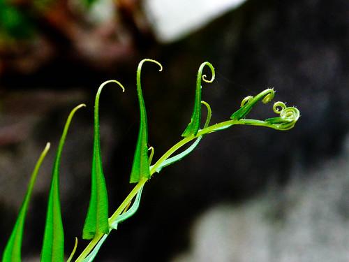 IMG_0579 fern -nature