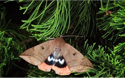 相較於樸實無華的前翅,後翅的顏色可就鮮豔很多。攝影:林旭宏、施信鋒、施禮正