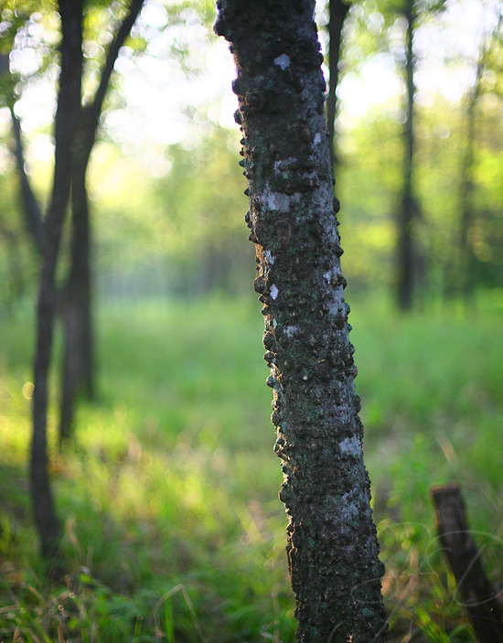knobby tree
