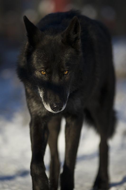 Black Wolf 57