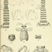 An account of the Crustacea Stomatopoda of the Indo-Pacific region