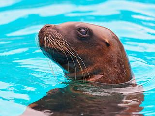 Portrait of a sea lion in the water