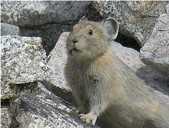 animal, rodent, fauna, whiskers, gerbil, wildlife,