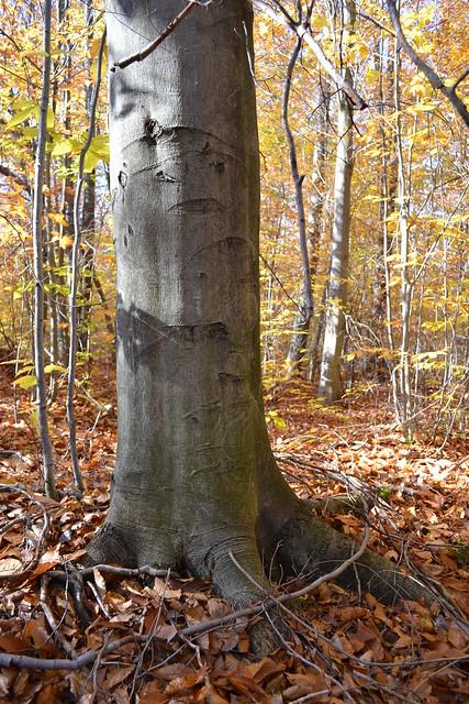 Beech Tree Bark Fagus Grandifolia Flickr Photo Sharing