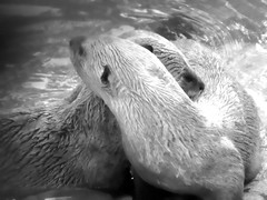 sea otter(0.0), nose(1.0), animal(1.0), marine mammal(1.0), otter(1.0), monochrome photography(1.0), close-up(1.0), monochrome(1.0), whiskers(1.0), black-and-white(1.0),