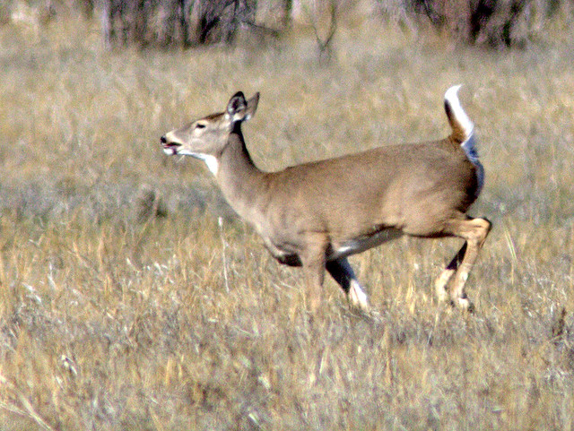 White-tailed Doe 20111110