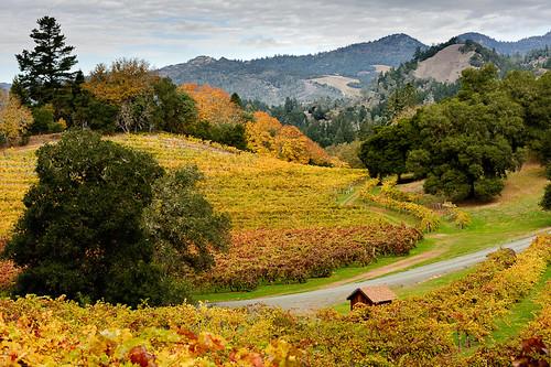 Vineyard Golden Autumn