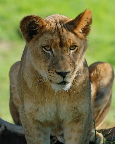 Juvenile Lion at Wild Animal Park in Escondido-77 12-9-08