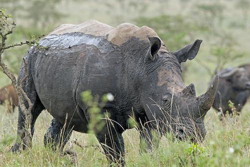 eos kenya nairobi mk whiterhino naturesfinest nairobinationalpark nairobikenya macswildpixels