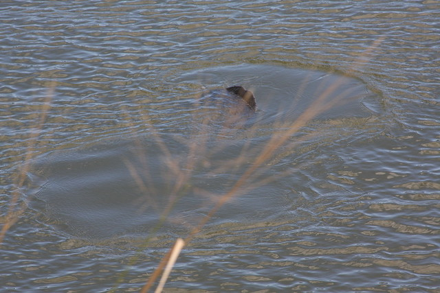unimpressive manatee photos, haulover canal, fl