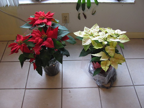 Red and yellow/white poinsettia