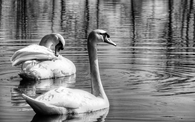 Swans in b&w