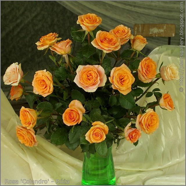 Rosa 'Colandro' - Róża