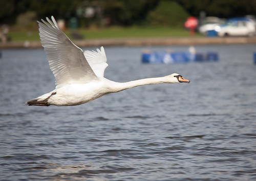 IMG_5183 Flying Swan