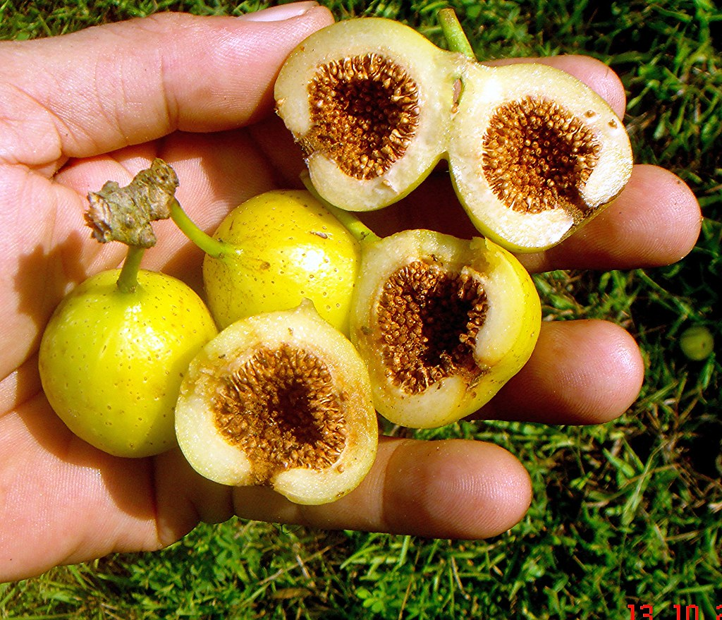 fig tree and wasp relationship advice