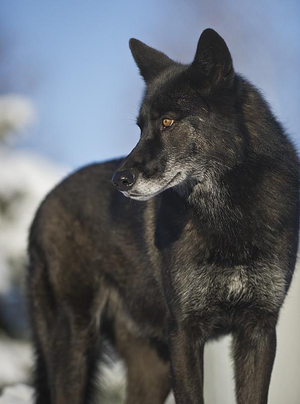 Black Wolf 58