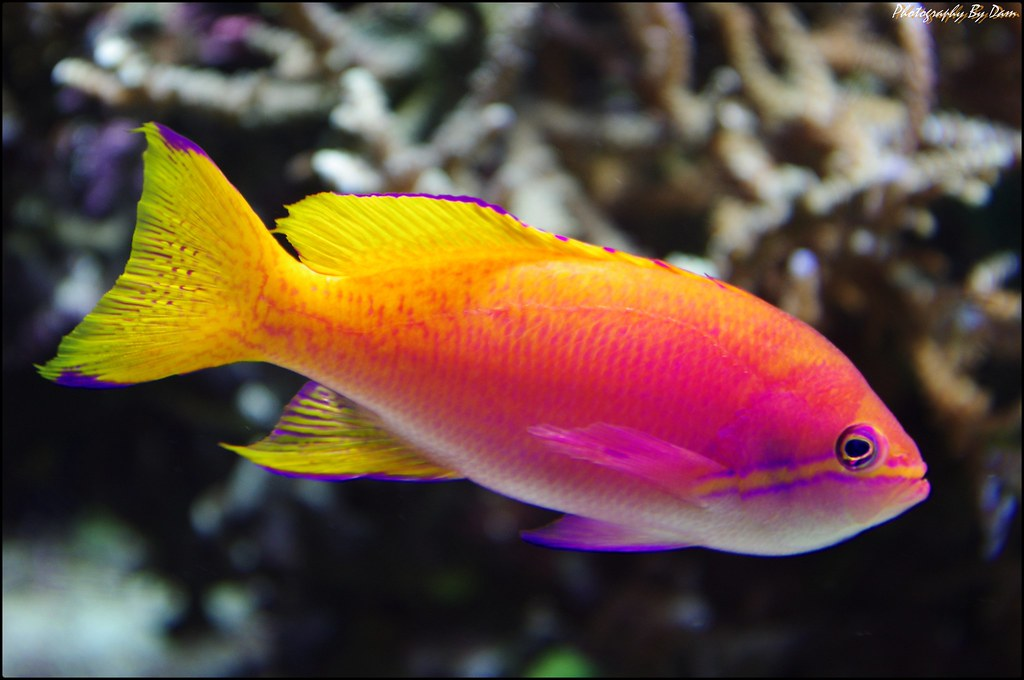Pink yellow fish a photo on flickriver for Pink saltwater fish