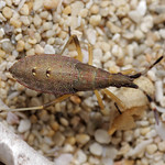 kutyatej-karimáspoloska - Dicranocephalus albipes
