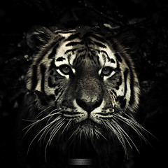 animal, big cats, tiger, mammal, monochrome photography, fauna, close-up, monochrome, whiskers, darkness, black-and-white, black,