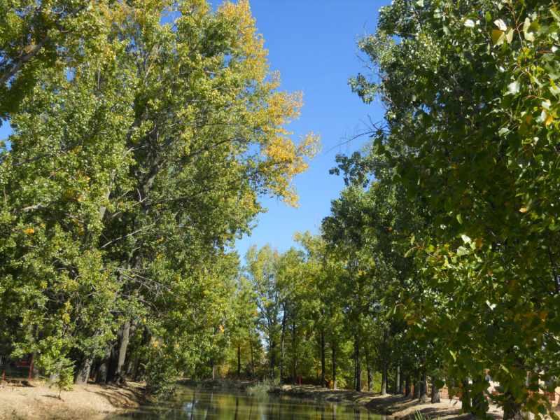 Chopos y álamos en otoño