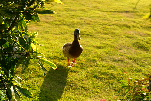 Duck in the afternoon sun :)
