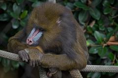 animal, baboon, monkey, zoo, mammal, fauna, drill, old world monkey, new world monkey, jungle,