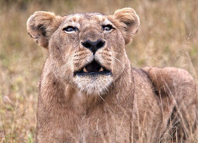 Crosseyed Roaring Lioness | Flickr - Photo Sharing!