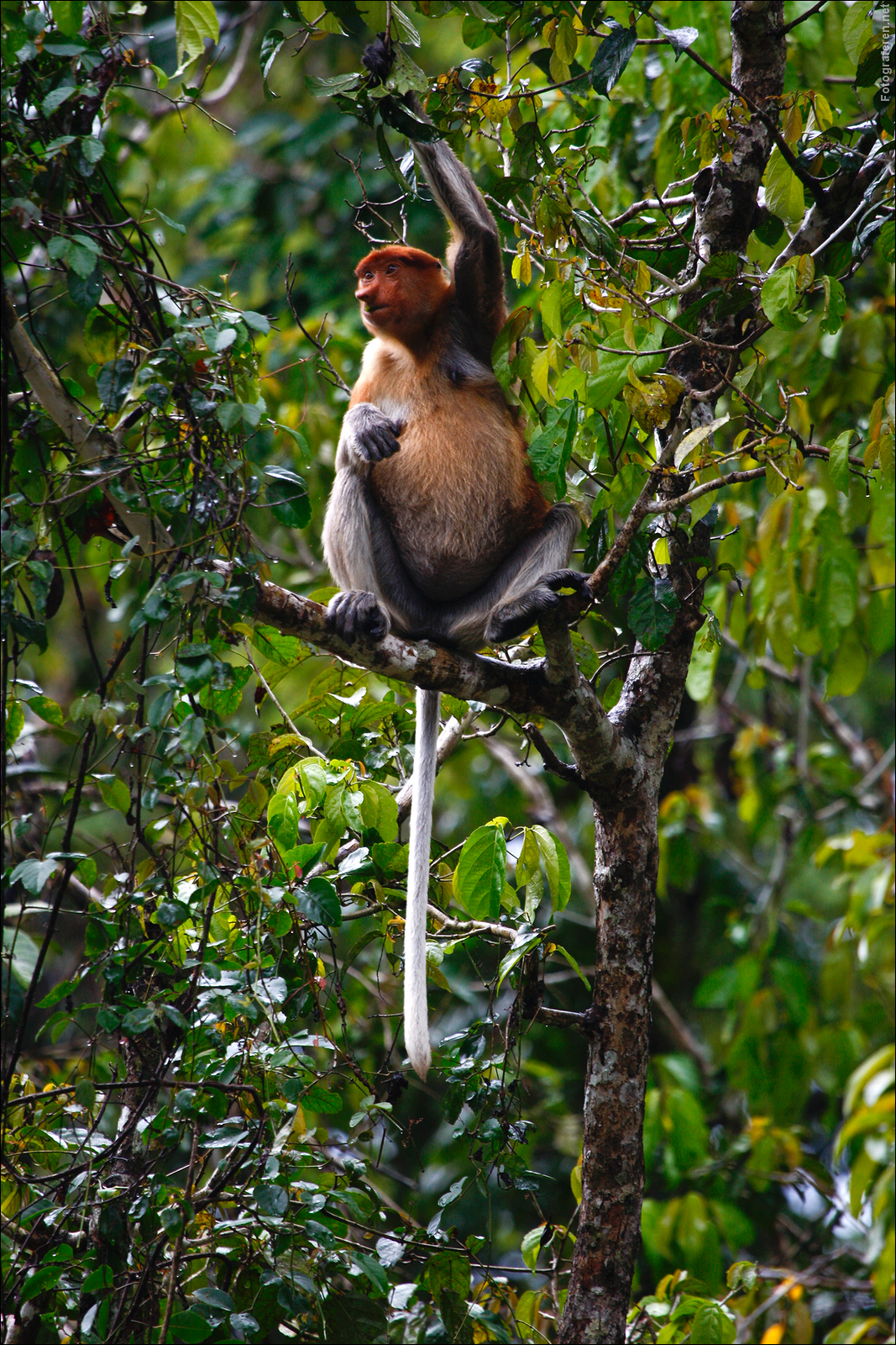 Dutch (or Probiscus) Monkey at the Kinabatangan river