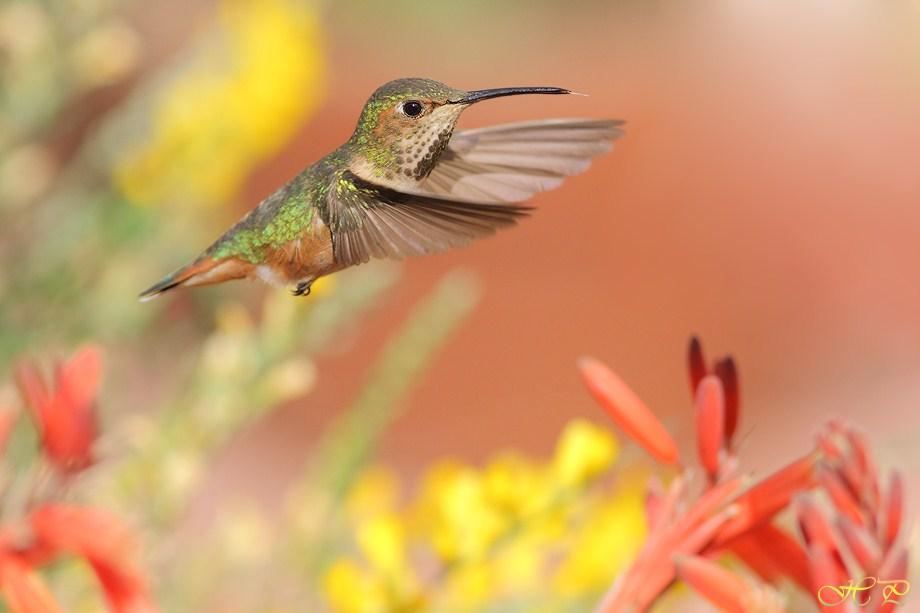 Allen's Hummingbird 032012