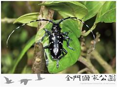 中華星天牛.jpg