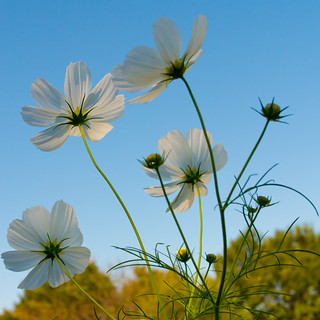 White cosmos dancing in the wind