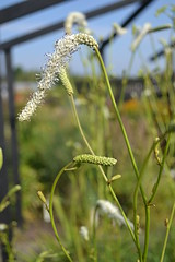 SANGUISORBA tenufolia var. alba 'Korean Snow'