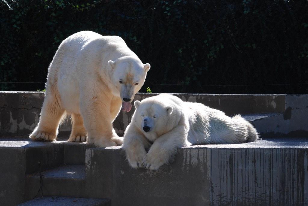 Eisbären Jurij und Tina im Parc zoologique et botanique de Mulhouse