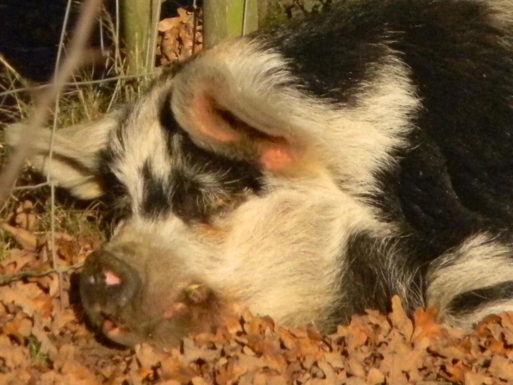 Peaceful piggy Cowden (short) Circular